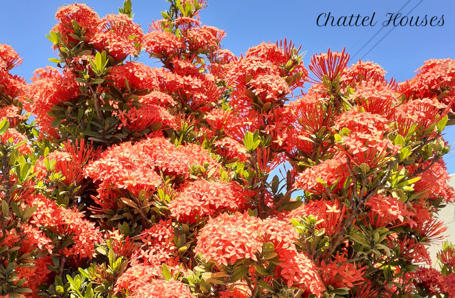 Chattel Houses - Jumpstart Your Tropical Garden By Planting These Colourful Blooming Shrubs 1