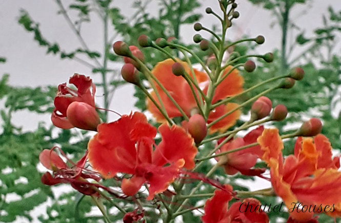 Chattel Houses - Jumpstart Your Tropical Garden By Planting These Colourful Blooming Shrubs 2