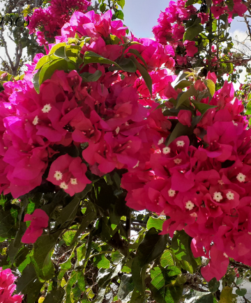 Chattel Houses - Jumpstart Your Tropical Garden By Planting These Colourful Blooming Shrubs 3